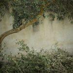 De mooiste dikke olijfboom