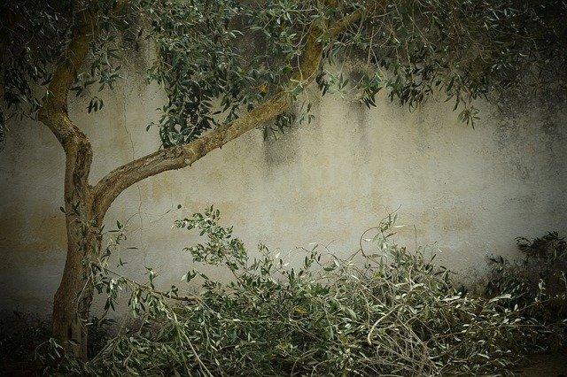 olive-tree-1756611_640